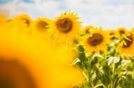 金黄色向日葵的图片(10张)