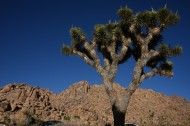 美国沙漠里的约书亚树图片(6张)