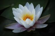 莲花图片(8张)