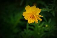 硫华菊图片(10张)