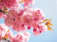 粉红的樱花图片(12张)