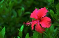 火红的扶桑花图片(9张)