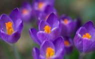 紫色的番红花图片(6张)