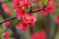 红色海棠花图片(16张)