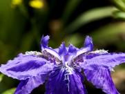 紫色鸢尾花卉图片(20张)