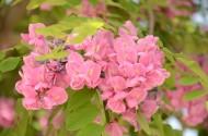 紫穗槐图片(9张)