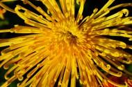 盛开的金色菊花图片(12张)