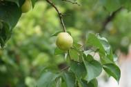 未成熟的酸杏图片(8张)