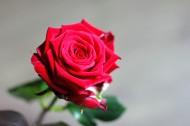 红玫瑰高清图片(16张)
