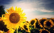 阳光下的向日葵图片(8张)