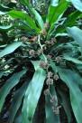 金心巴西铁植物图片(1张)