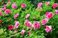 红粉色的一丛牡丹花图片(8张)