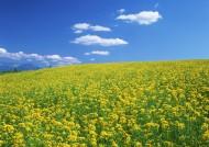黄色花田图片(18张)