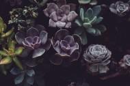 唯美的多肉植物图片(15张)