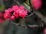 红色碧桃花图片(10张)