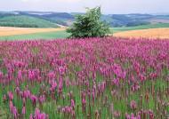 紫色花海图片(13张)
