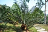 葫芦苏铁植物图片(1张)