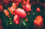 色彩斑斓的郁金香花丛图片(18张)