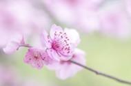 淡粉色梅花图片(8张)