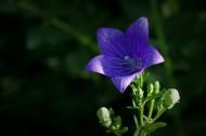 紫色的桔梗花图片(6张)