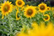 唯美的金葵花图片(8张)