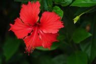 红色的扶桑花图片(7张)