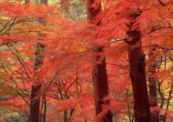 枫树枫叶图片(26张)