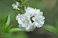 白色桃花图片(14张)