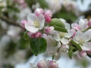 海棠花高清图片(14张)