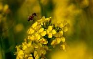 金黄色的油菜花图片(9张)