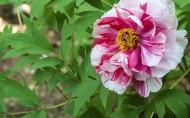 牡丹花卉图片(12张)