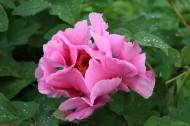 雍容牡丹花卉图片(8张)