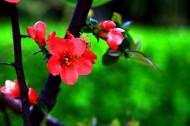 鲜艳美丽的贴梗海棠花卉图片(10张)