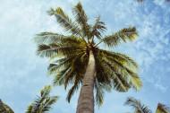 热带海边的椰树图片(11张)