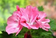 天竺葵花卉图片(12张)