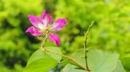 热闹的紫荆花图片(10张)