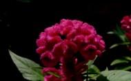 美丽的鸡冠花图片(9张)