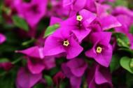 怒放的紫色三角梅图片(13张)