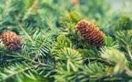 松树的果实松子图片(14张)