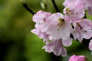 粉色杜鹃花图片(7张)