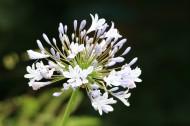 百子莲花卉图片(11张)
