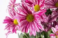 菊花图片(10张)