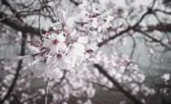 美丽的樱花的图片(11张)