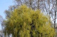 美丽的柳树图片(12张)