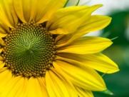 金黄的向日葵图片(10张)