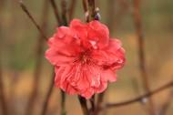 红色桃花图片(15张)