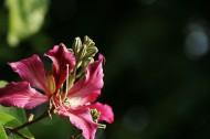 紫荆花图片(9张)