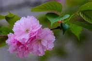 粉色樱花图片(25张)