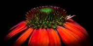 漂亮的松果菊图片(11张)