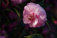 妩媚的茶花图片(10张)